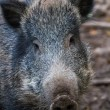 Stock Photo: Boar close up