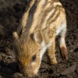 Stock Photo: One young boar pig