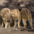 Stock Photo: Three young boar pigs from behind