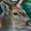 Male deer close up — Stock Photo #37104253