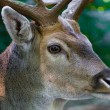Male deer close up — Stock Photo