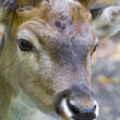 Stock Photo: Male deer close up