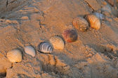Shells on the beach evening sun — Stock Photo