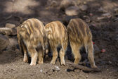 Three young boar pigs from behind — Stock Photo