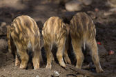 Three young boar pigs from behind — Foto de Stock