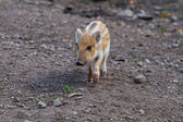 One young boar pig — Stock Photo