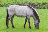 Tarpan horse close — Stock Photo