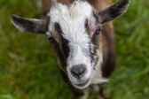 Goat with focal point on the nose — Stock Photo