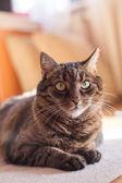 полосатый кот — Стоковое фото
