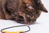 Gatto e collana — Foto Stock