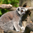 One ring-tailed lemur sitting on a tree trunk - Stock Photo