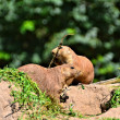 Attentive prairie dogs — 图库照片