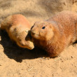 Attentive prairie dogs — Stockfoto
