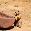 Young prairie dog while eating — Stock Photo