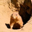 A prairie dog stands guard - Stock Photo