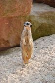 A meerkat stands in the sand — Stock Photo
