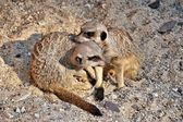 Meerkats playing in the sand — Stock Photo