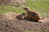 Prairie dogs at the entrance of your cave — Stock Photo
