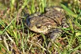 A toad — Stock Photo