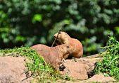Attentive prairie dogs — Stock Photo