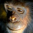 Stock Photo: Face of chimpanzee