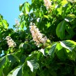 A chestnut tree — Stock Photo