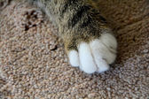 The paw of a young gray cat — Stock Photo