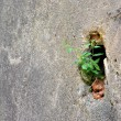 Struggle for survival of a plant on a wall — Stock Photo