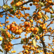 Fruit on a ornamental apple tree in autumn — Stock Photo