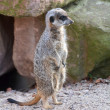 ������, ������: A watchful meerkat in the zoo