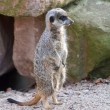 A watchful meerkat in the zoo — Lizenzfreies Foto