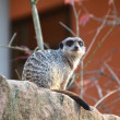 Постер, плакат: A watchful meerkat in the zoo