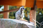 A watchful meerkat in the zoo — Stock Photo