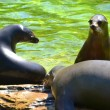 Sea lions in a zoo — Stock Photo