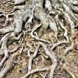 Tree Roots — Stock Photo #41914615