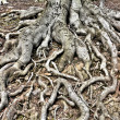 Tree Roots — Stock Photo #41915061