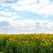Rapeseed field — Stock Photo #44765275