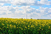 Rapeseed field — Stock Photo