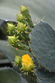Cactus — Fotografia Stock