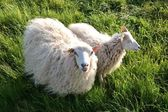 Sheep in green grass — Stock Photo