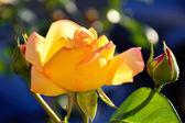 Beautiful Yellow Orange Rose — Stock Photo