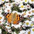 Butterfly in daisywheel — Stock Photo