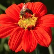 Bee on flower — Stock Photo #22118393