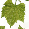 Stock Photo: Grape leaf