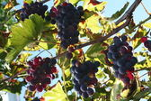 葡萄和叶 — 图库照片