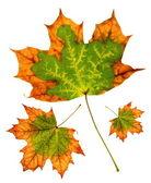 Maple leaf group — Stock Photo