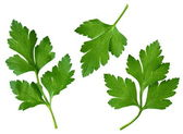 Parsley leaf — Stock Photo