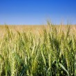 Wheat cereal plant — Stock Photo