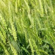 Cereal plant wheat — Stock Photo