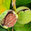 Stock Photo: Walnut closeup on tree